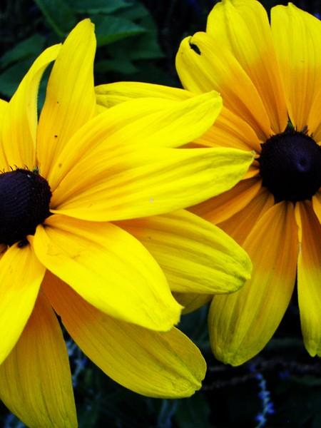 Rudbeckia hirta 'Indian Summer' (black-eyed susan)