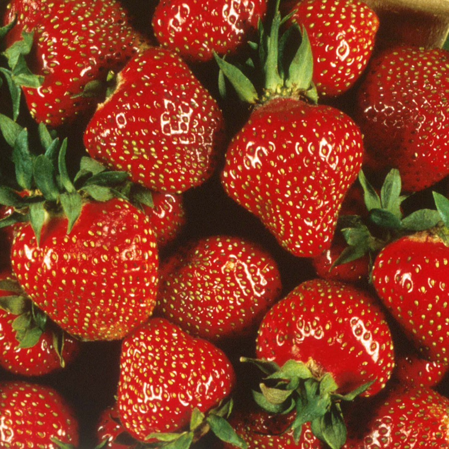 Strawberry 'Quinault' Everbearing
