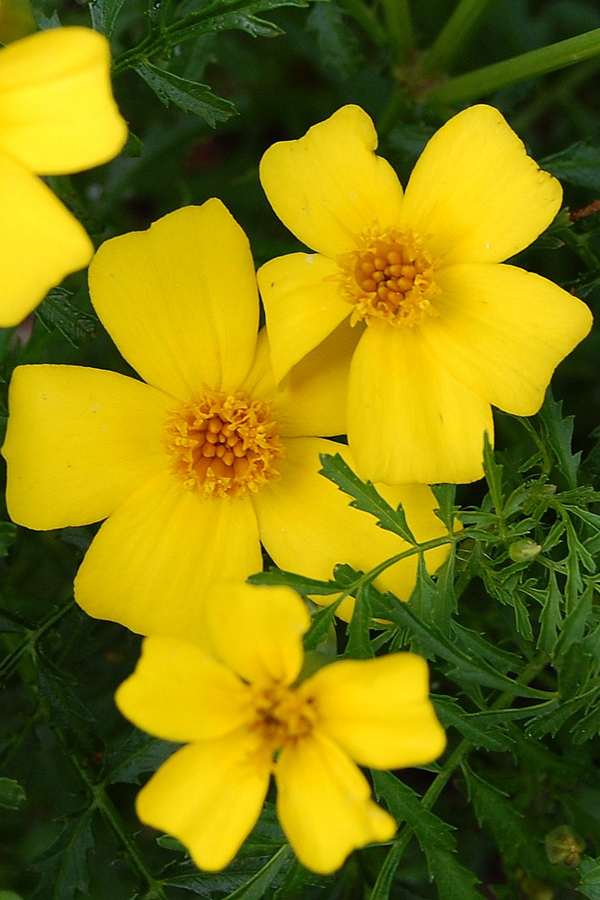 Tagetes signata 'Lemon Gem' Marigold