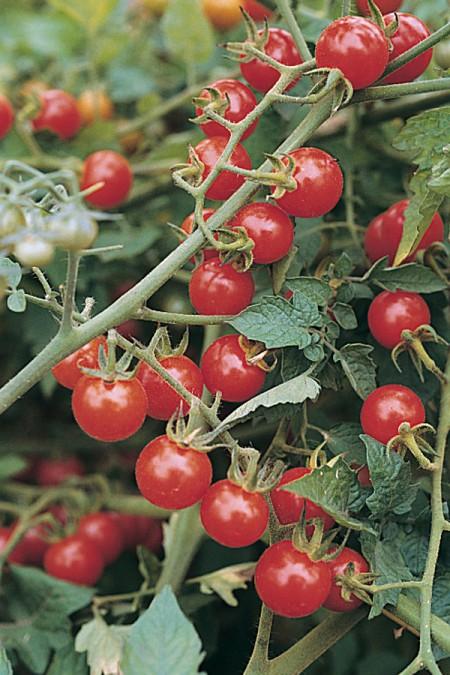 Tomato 'Matt's Wild Cherry' Mighty 'Mato