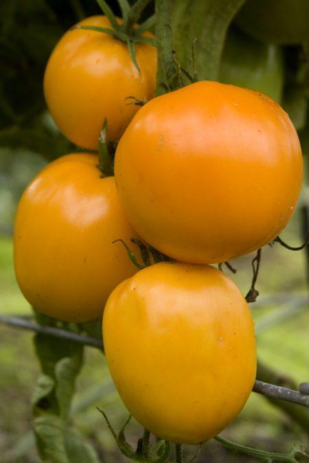Heirloom Tomato 'Moonglow'