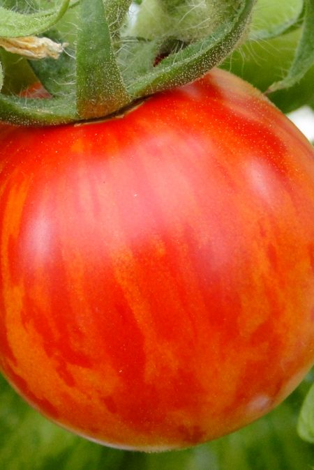 Heirloom Tomato 'Red Zebra'