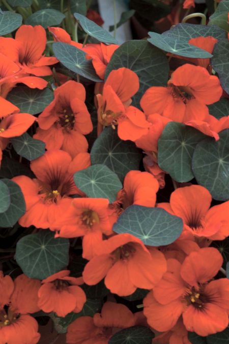 Tropaeolum majus 'Princess of India'
