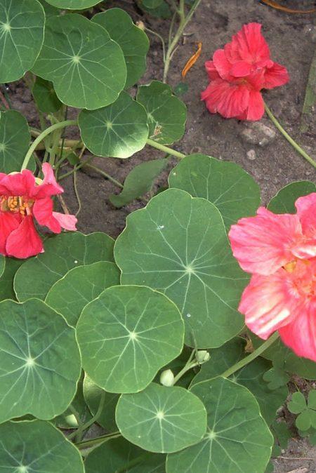 Tropaeolum majus 'Whirlybird Cherry Rose'