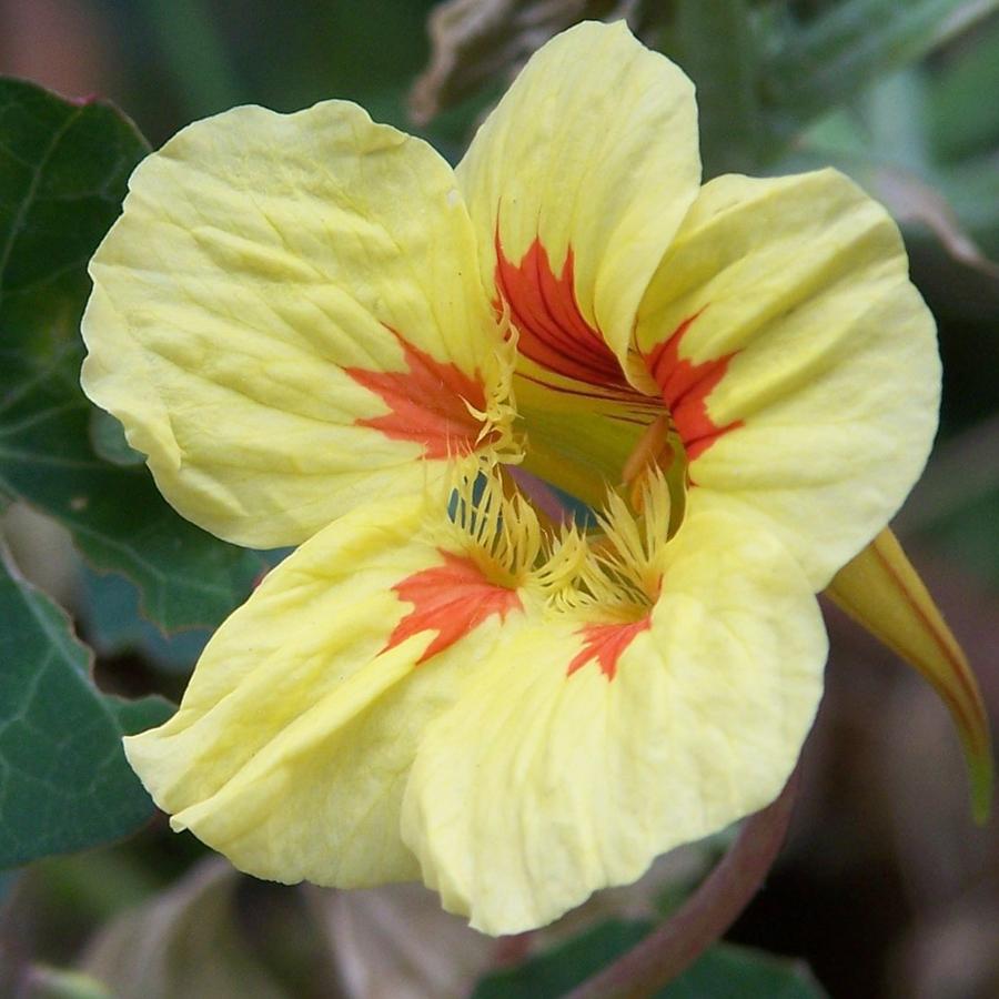 Tropaeolum majus 'Whirlybird Cream'