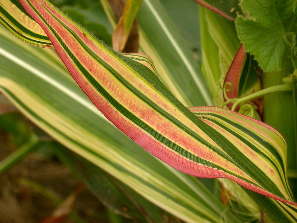 Zea mays japonica Ornamental Corn