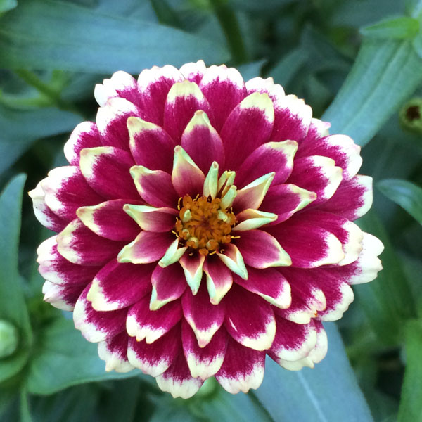 Zinnia haageana 'Aztec Sunset'