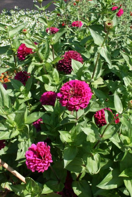Zinnia elegans 'Benary Giant Wine'