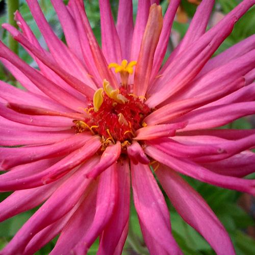 Zinnia elegans 'Pinca Pink'