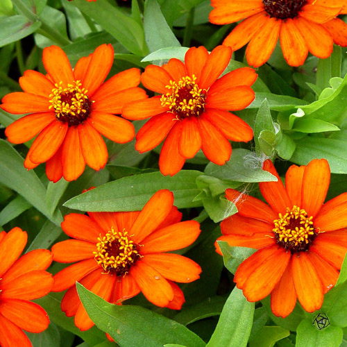 Zinnia elegans 'Profusion Orange'