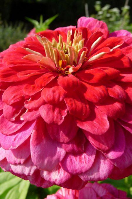 Zinnia elegans 'Yoga Rose'