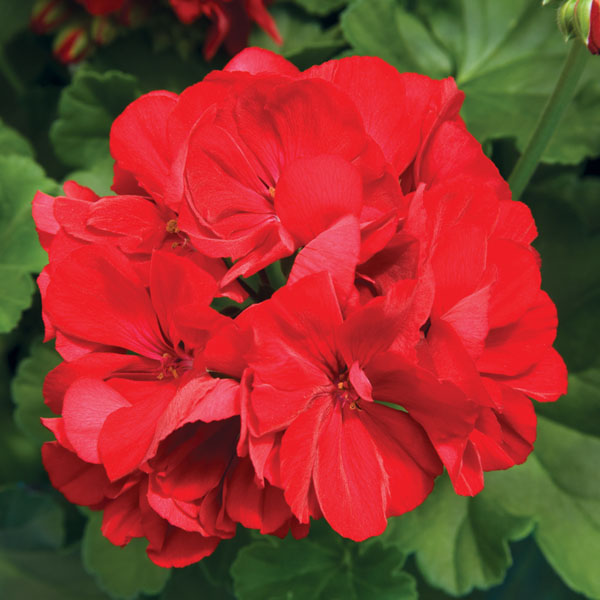 Interspecific Geranium 'Calliope Large Dark Red'