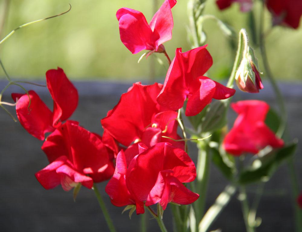 Lathyrus odoratus 'Old Spice King Edward VII' Old-Fashioned Sweet Pea