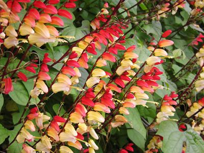 Mina lobata 'Jungle Queen' Firecracker Vine