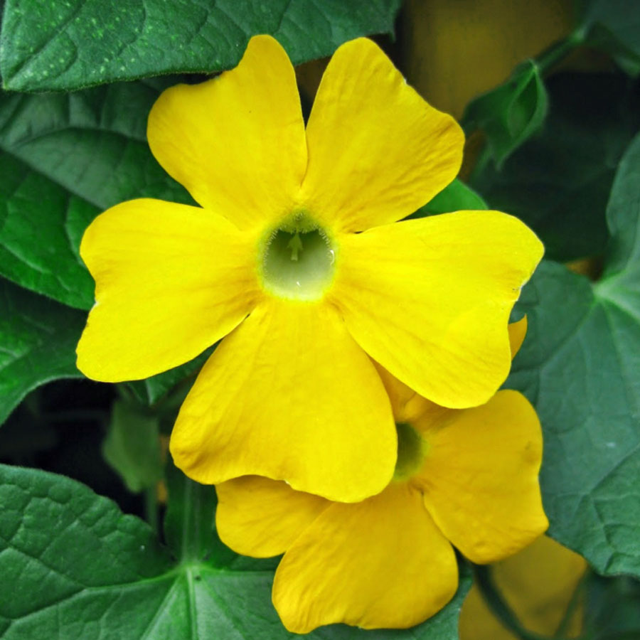 Thunbergia alata 'Susie Clear Yellow'