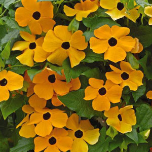 Thunbergia alata 'Susie Orange with Eye'