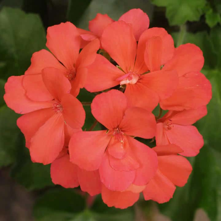 Geranium 'Caliente Orange' interspecific