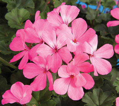 Geranium 'Caliente Pink' interspecific