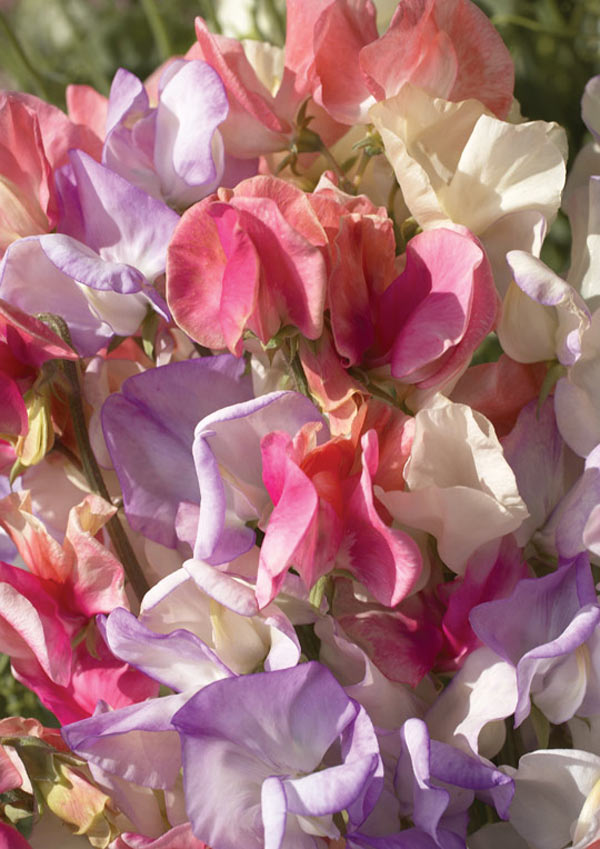 Lathyrus odoratus ' Incense Mix' Old Fashioned Sweet Pea