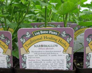 Marshmallow (Althaea officinalis)