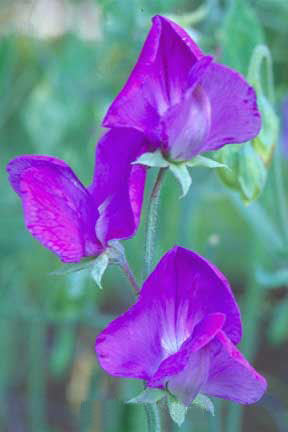 Lathyrus odoratus 'Captain of the Blues' Old-Fashioned Sweet Pea