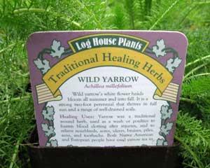 Wild Yarrow (Achillea millefolium)
