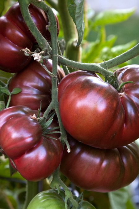 Heirloom Tomato 'Black Krim' Mighty 'Mato