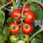 Heirloom Tomato 'Matina' Mighty 'Mato