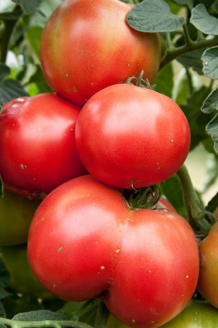 Tomato 'Momotaro' Mighty 'Mato