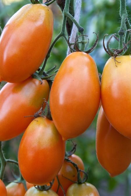 Heirloom Tomato 'Orange Icicle' Mighty 'Mato
