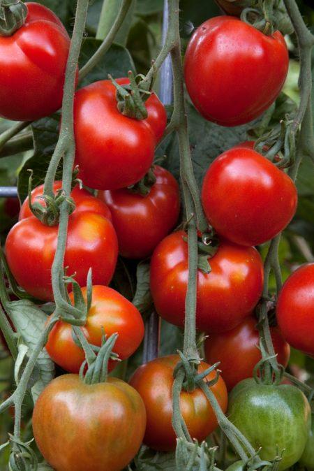 Heirloom Tomato 'Stupice' Mighty 'Mato