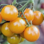 Tomato 'Sungold' Cherry Tomato Mighty 'Mato