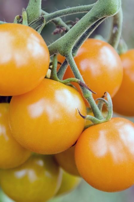 Tomato 'Sungold' Cherry Tomato Mighty 'Mato