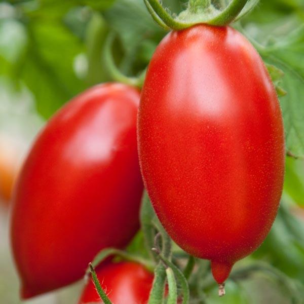 Tomato 'Amish Paste'