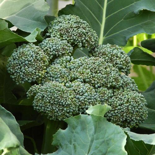 Broccoli 'Umpqua'