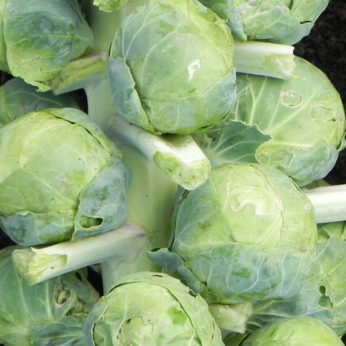 Brussels Sprouts Gustus