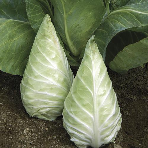 Cabbage Mini Caraflex