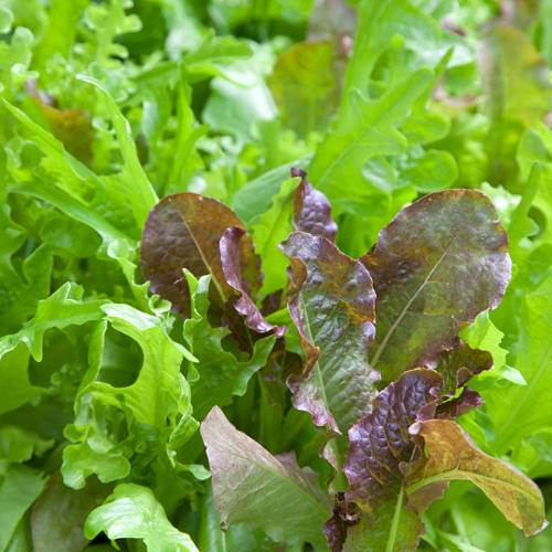 Lettuce 'Arctic Tundra Blend'