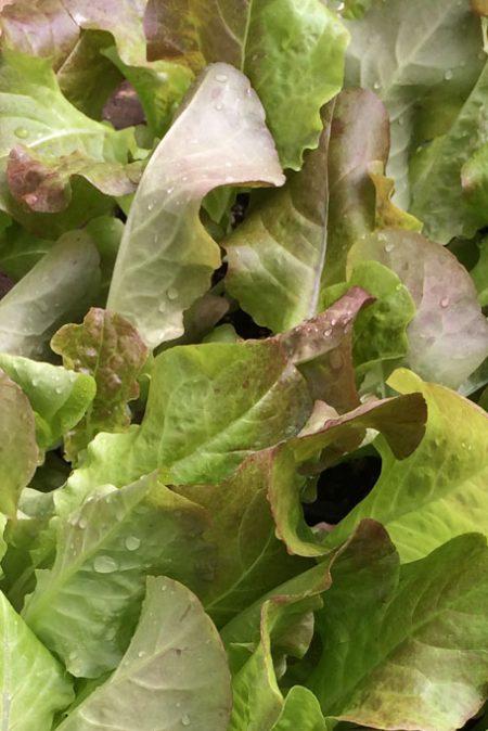 Lettuce 'Dazzle' Mini Red Romaine