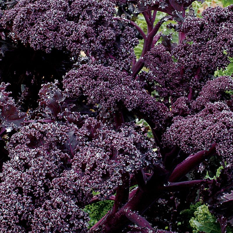 Kale 'Redbor'