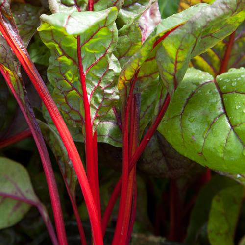 Swiss Chard 'Red Rhubarb'