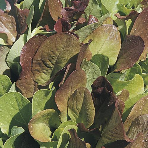 Lettuce 'All Lettuce Mix'