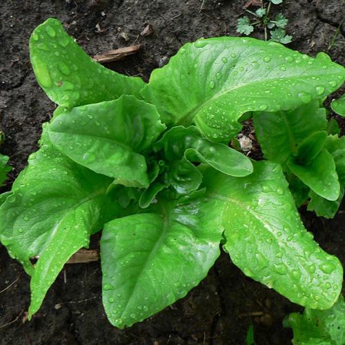Lettuce 'Deertongue' Looseleaf