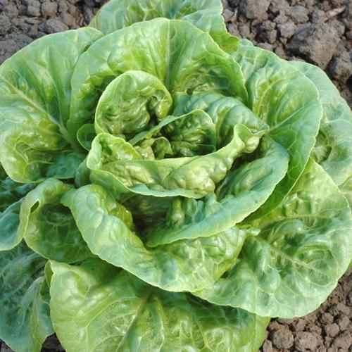 Lettuce 'Winter Density' Romaine