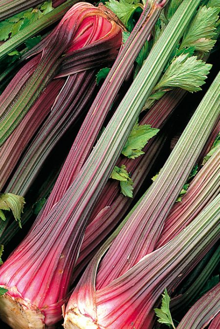 Celery 'Giant Red Reselection'