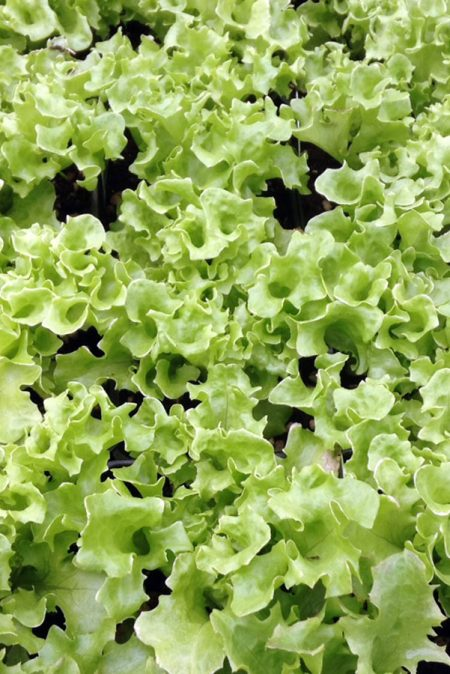 Lettuce 'Salanova Green Incised Leaf'
