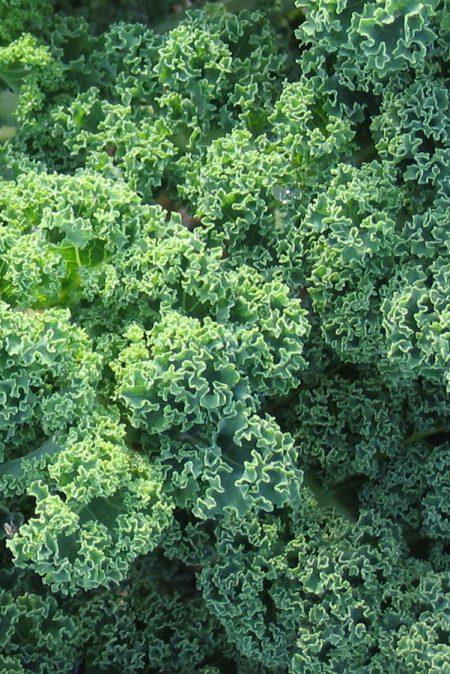 Kale 'Starbor'