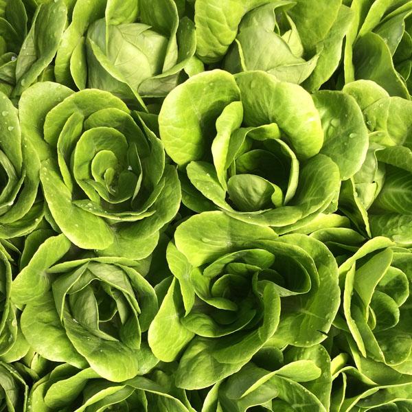 Lettuce 'Salanova Green Multi-Leaf Butter'