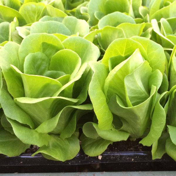 Lettuce 'Salanova Green Multi-Leaf Oakleaf'