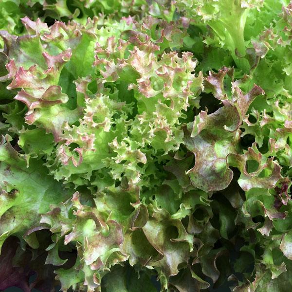 Lettuce 'Salanova Red Incised Leaf'